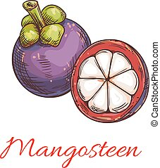 Tropical purple mangosteen fruit sketch - Tropical...