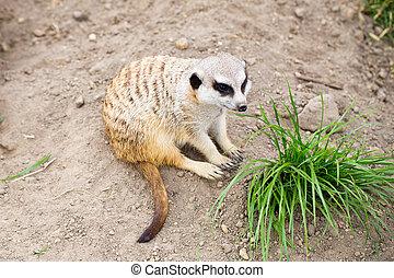 野生動物,  Suricata,  suricatta,  Meerkat, 也,  suricate, 知道, 動物