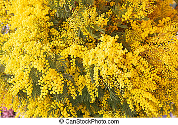 Mimosa - Fresh Yellow Acacia Dealbata Mimosa Flowers Bouquet...