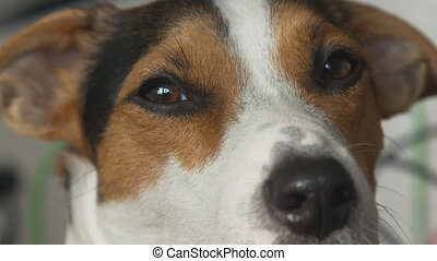 Dog looks at the camera and blinks slowly. - Small dog breed...