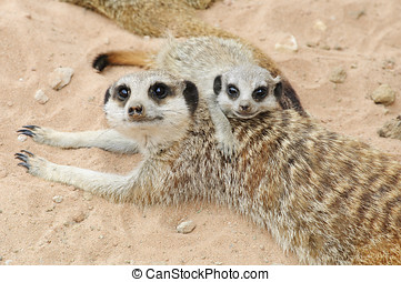Meerkat - Close up of a Meerkat (suricata suricatta)