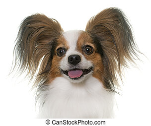 papillon dog in studio - papillon dog in front of white...