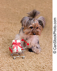 Sad Yorkshire Terrier with a gift in trolley