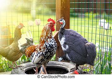 beautiful guinea fowl - guinea fowl on a sunny summer day