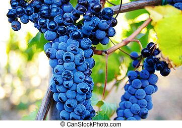 red grapes on the vine at a vineyard