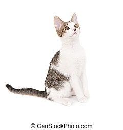 Domestic cat, kitten isolated on white background