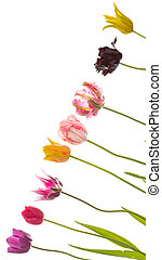 colorful tulips on a diagonal - Beautiful bright colorful...