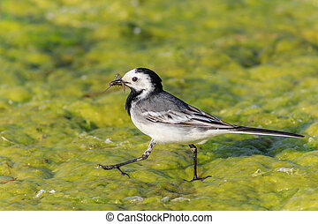 white wagtail in the Danube Delta, Romania