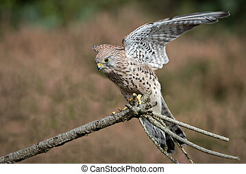 Kestrel landing - A female kestrel with wings outspread...