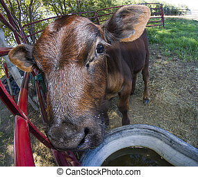 Cow near the drinking hole