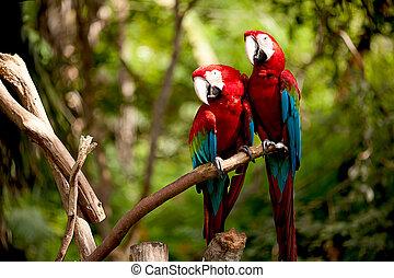 el, escarlata, papagallos