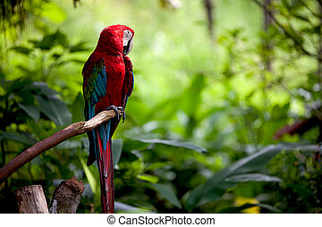 The Scarlet Macaws is a large colorful parrot