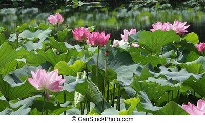 Lotus - china