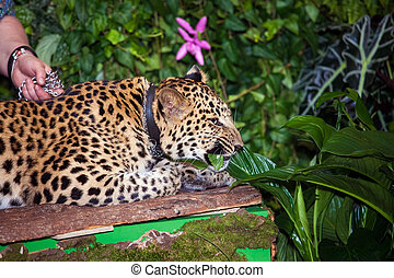 Pet leopard in a collar lying in jungle