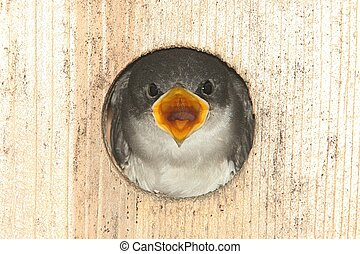 Baby Tree Swallow In a Bird House - Baby Tree Swallow...