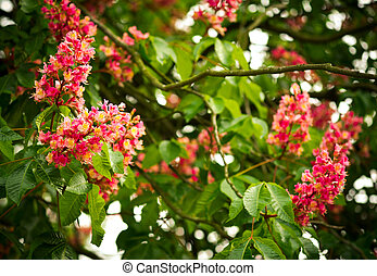 Spring blooming pink chestnut tree flowers, nature...