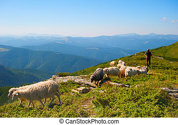 Herd of sheeps - Shepherd with herd of sheeps on top of...