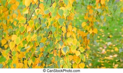 beautiful birch with yellow leaves in autumn, Russia