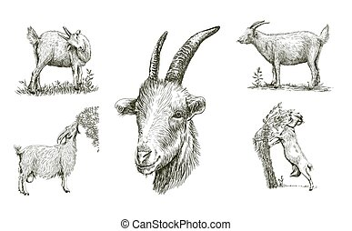 sketches of goat drawn by hand livestock animal grazing -...