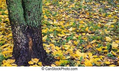 autumn leaf fall in grove, Russia - An autumn leaf fall in...