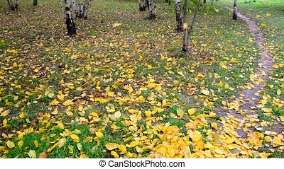 autumn leaf fall in a birch grove, Russia - autumn leaf fall...