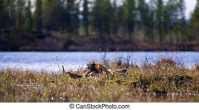 Pugnacious handsome 8. Ruffs fight in swamp. - Pugnacious...
