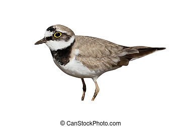 Little-ringed plover, Charadrius dubius, single bird,...