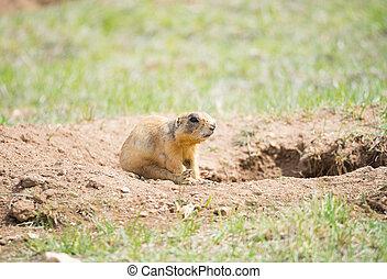 Prairie dog - Utah prairie dog (Cynomys parvidens) sitting...