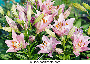 Pink lilies outdoors - Many large beautiful flowers of pink...