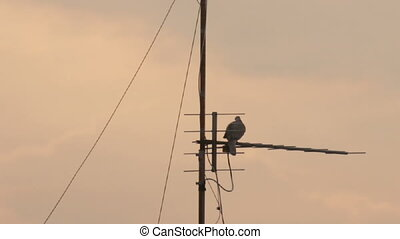 Television antenna with pigeon - Television antenna...