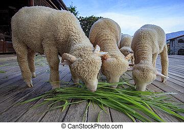 merino sheep eating ruzi grass leaves on wood ground of...