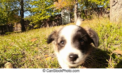 little fluffy dog walks around the yard