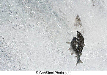 Sockeye salmon jumping - Sockeye salmon try to make their...