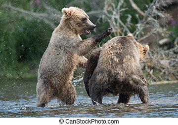Two Alaskan brown bears fighting