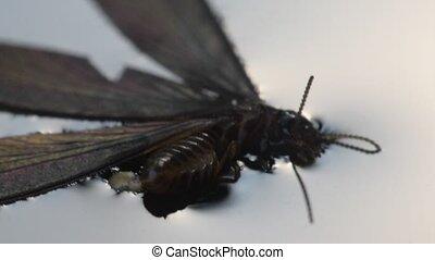 Macro of alate insect on water - Macro of alate (mayfly)...
