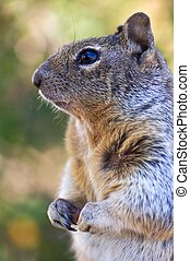 Chipmunk close up - Chipmunk in Grand Canyon National Park,...