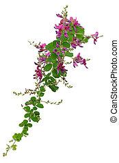 bush clover, lespedeza bicolor, japanese clover, hagi...