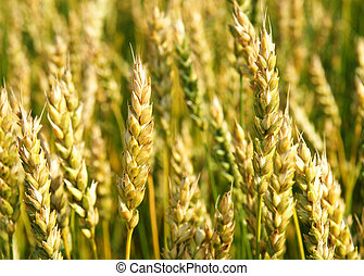 Ripening wheat - Close-up of some ripening gmo wheat cereal...
