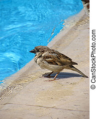 Sparrow at a pool - Little sparrow on the edge of swimming...