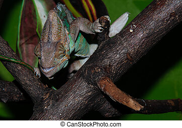 Chameleons Yemeni or Chamaeleo calyptratus species of lizard...