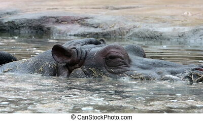 Hippopotamus floating in dam water ,