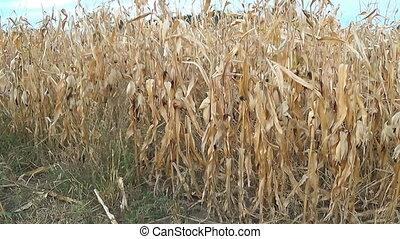 Dry corn field - Corn harvest field in wind.