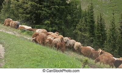group of sheep walking on mountain trail