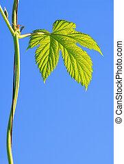 hop plant 07