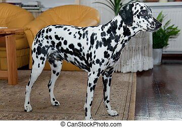 Dalmatian - The Dalmatian is a breed of dog whose roots are...