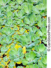 Pistia Water cabbage - detail