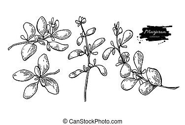 Marjoram vector hand drawn illustration set. Isolated spice...