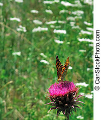 Butterfly Argynnis Aglaja sitting on a thistle flower