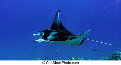 Manta swim - Manta ray swimming in blue hawaiian water...