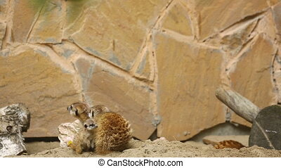 Family of meerkat playing outdoor - Meerkat family play...